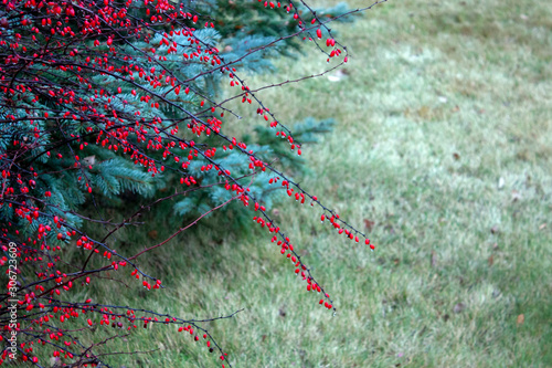 Bright red berries of barberry on a background of green branches of juniper Wallpaper Mural