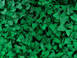 Nature view of sweet potato leaves for background and wallpaper. Natural green plants landscape
