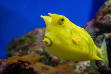 Beautiful Yellow Fish With Hor...