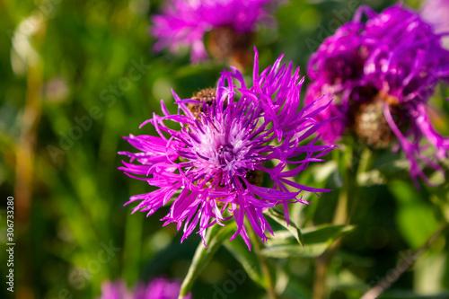 Fotografia Flower burdock on a blurred background close-up