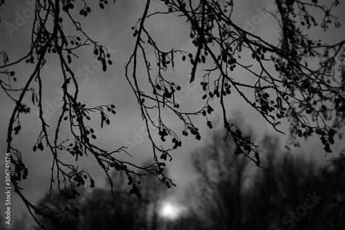 Foto auf Leinwand Darknightsky Alnus glutinosa