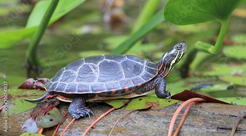 Photo painted turtle in algonquin provincial park