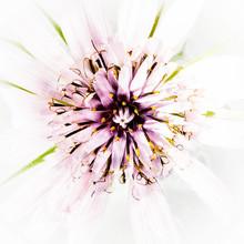 High Key Closeup Of Pink Flower