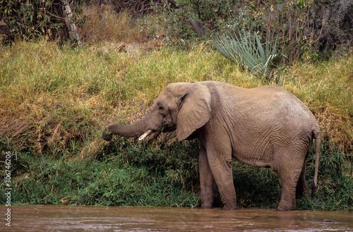 Wallpaper Mural Eléphant d'Afrique , Loxodonta africana,  Parc national de Samburu, Kenya