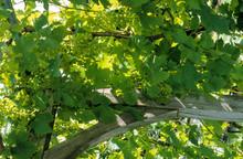 Vigne, Tonnelle, Vitis Vinifer...