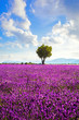 Lavender field and lonely tree. Provence, France
