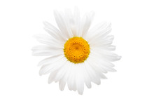 White Camomile Isolated