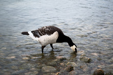 Wild Goose Stands In Clear Water And Drinks