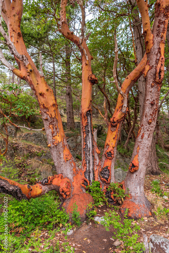 Abstract red Arbutus and green tree background Canvas Print