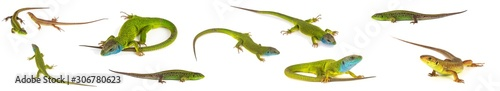 Photo Green lizard set collection isolated on white background