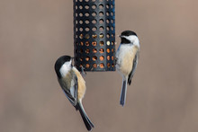Black-capped Chickadee (Poecile Atricapillus) At Feeder In Winter