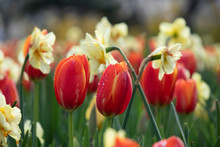 Red Tulips With Daffodils In B...