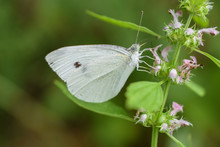 White Cabbage Butterfly On Purple Wildflowers, Close-Up