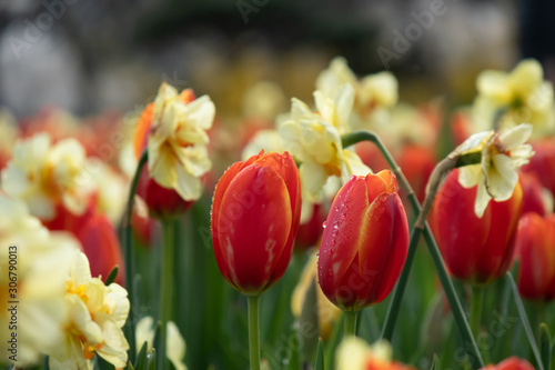 Red tulips with daffodils in background