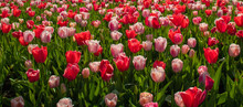 Purple, Pink And Red Tulips, C...
