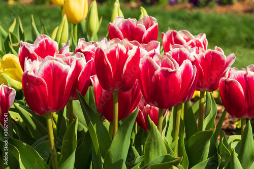 Red tulips, Close-up