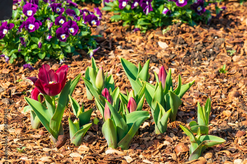 Red tulips and purple pansies in background