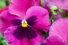 Purple Pansies Close-up