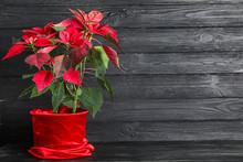 Christmas Plant Poinsettia On Dark Wooden Background