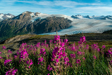 Purple Wildflowers In Alaska's Alpine Climate In Kenai Fjords National Park