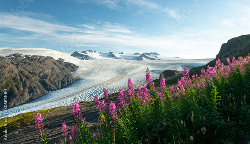 Fotografie, Obraz Purple wildflowers in Alaska's alpine climate in Kenai Fjords National Park
