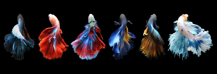 Betta fish, siamese fighting fish, betta splendens isolated on black backgrou...
