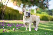 Cute French Bulldog Standing Under Bauhinia Purpurea Tree In The Garden.