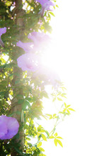 Purple Flower With Sunlight At...