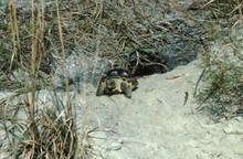 Gopher Tortoise (Gopherus Polyphemus) With Burrow