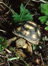 Gopher Tortoise (Gopherus Polyphemus) Baby