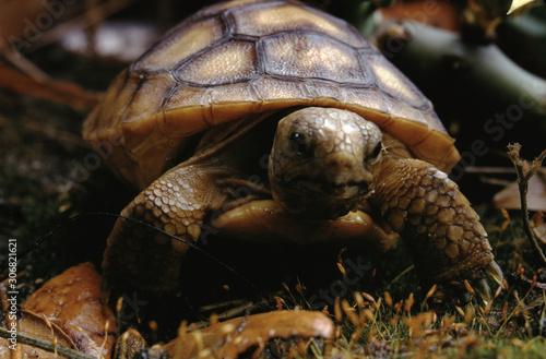 Gopher Tortoise (Gopherus Polyphemus) Baby Canvas Print