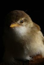 Plain Prinia Bird (Prinia Inom...