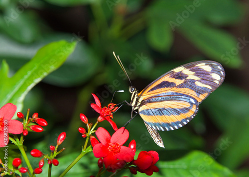 Heliconius hecale, the tiger longwing, Hecale longwing, golden longwing or golden heliconian butterfly, side view drinking nectar from small red flowers. profile view with nectar on probiscus.