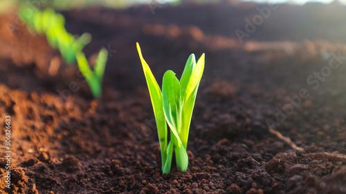 Obraz Corn seedlings with sunlight Thailand - fototapety do salonu