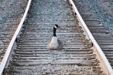 Trespassing Canada Goose Sitti...