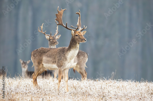Photo Fallow deer, dama dama, stag standing on a meadow in freezing cold in winter looking aside