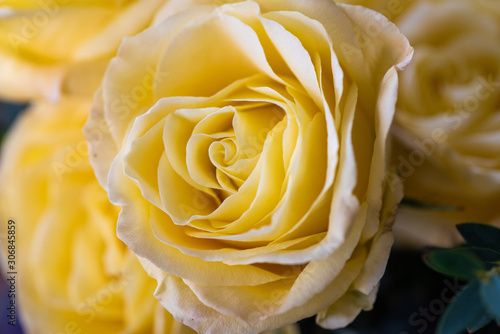 Close up of beautiful yellow rose