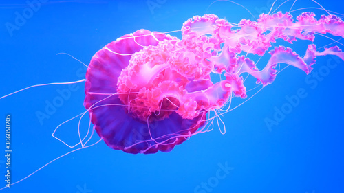 Photo pink jellyfish swims in blue ocean sea, dangerous poisonous jellyfish Pelagia No