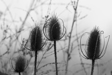Silhouettes Of Four Withered T...