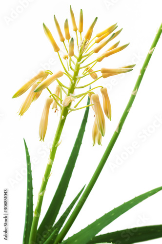Aloe Vera plant in bloom isolated on white background Canvas Print