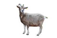 Portrait Of A Goat Isolated On...