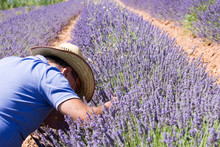 Lavender Field In El Pobo Teru...