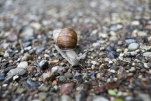 Closeup Shot Of A Little Snail On The Colorful Pebbles
