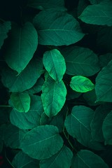 Fototapeta Popularne green plant leaves textured in the nature, green background