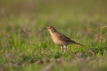 Paddy Field Pipit Or Oriental Pipit, Anthus Rufulus, India