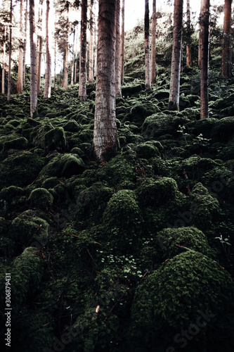Fototapeta wilderness landscape forest with beech trees and moss on rocks