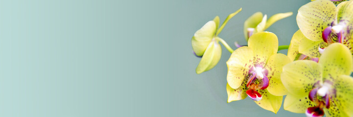Yellow phanalenopsis orchid flower on panoramic background