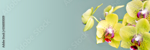 Fototapeta Yellow phanalenopsis orchid flower on panoramic background obraz