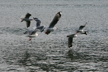 Seagulls In Flight Chasing One...