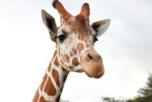 Portrait Of Giraffe Isolated O...